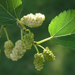 WhiteMulberry